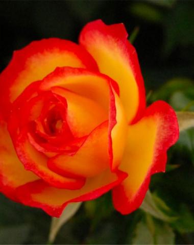 Benedizione delle rose in San Giuseppe